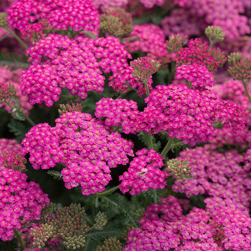 Achillea mill. 'New Vintage Rose'