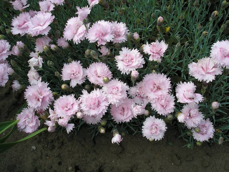 Dianthus (P) 'Pike's Pink'