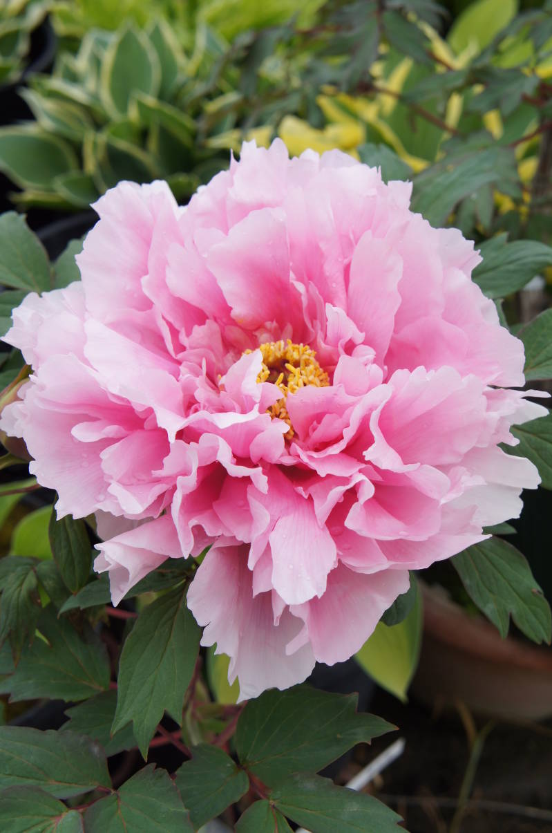 Paeonia suffr. Rose
