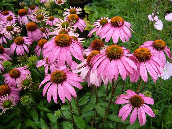 Echinacea 'Pink Passion'