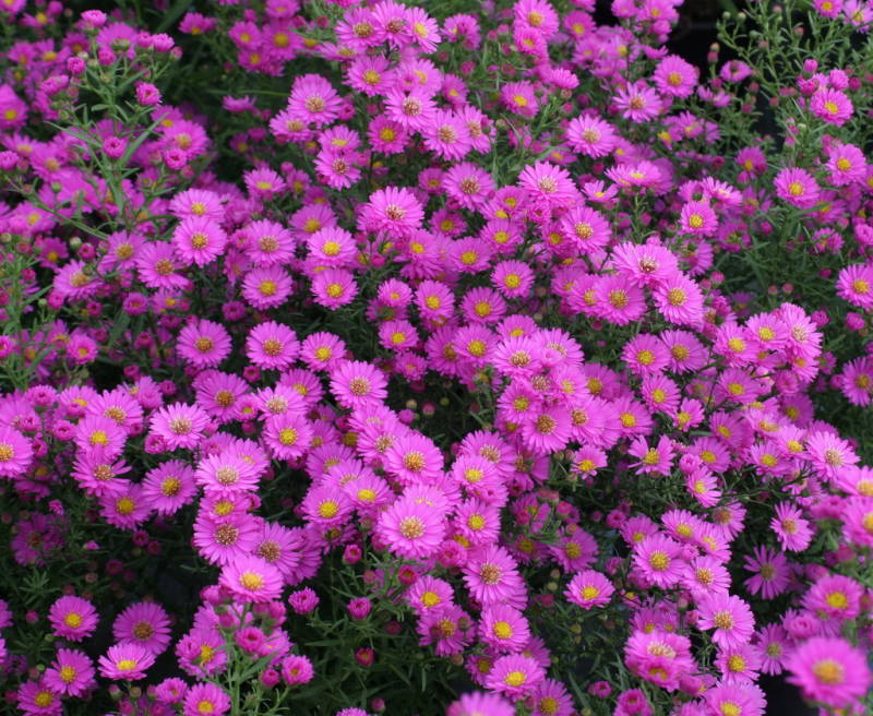Aster 'Pixie Red Eye'