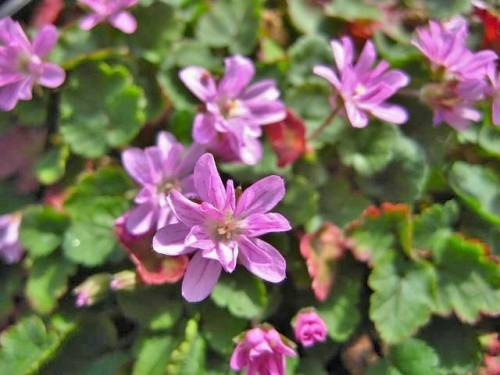 Erodium variabile 'Flore Pleno'
