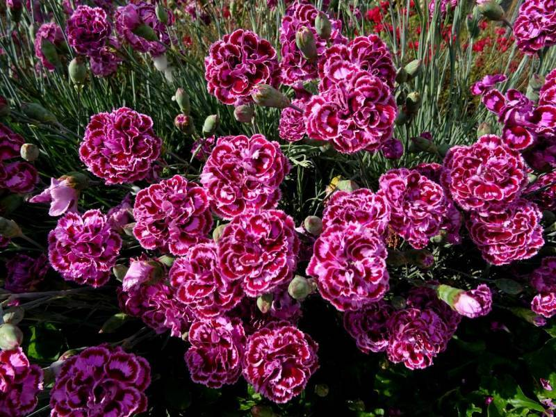 Dianthus (P) 'James Portman'