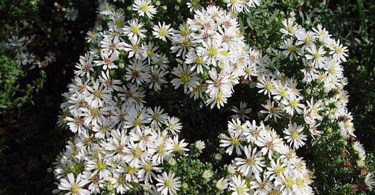Aster eric. 'Prostrate Form'