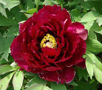 Paeonia suffr. Rouge