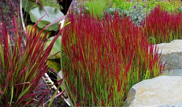 Imperata cyl. 'Red Baron'