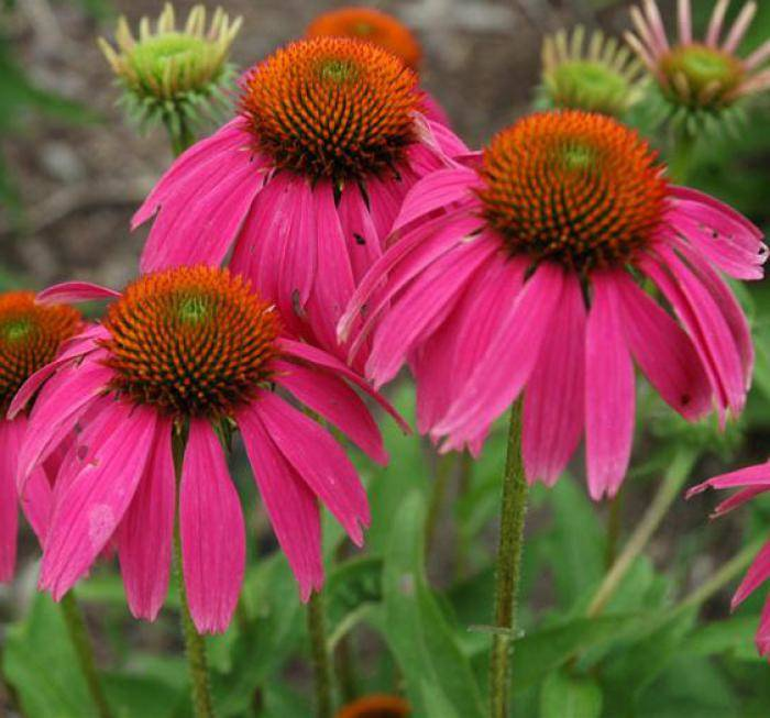 Echinacea p. 'Red Knee High'