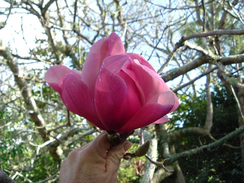 Magnolia 'Red Lion'