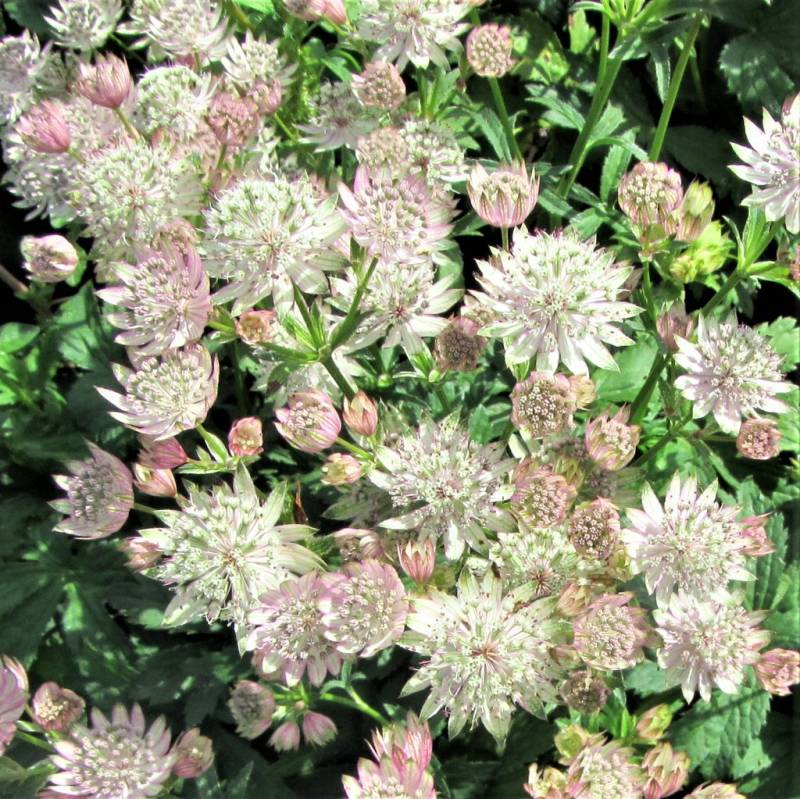 Astrantia maj. 'Star of Royals'
