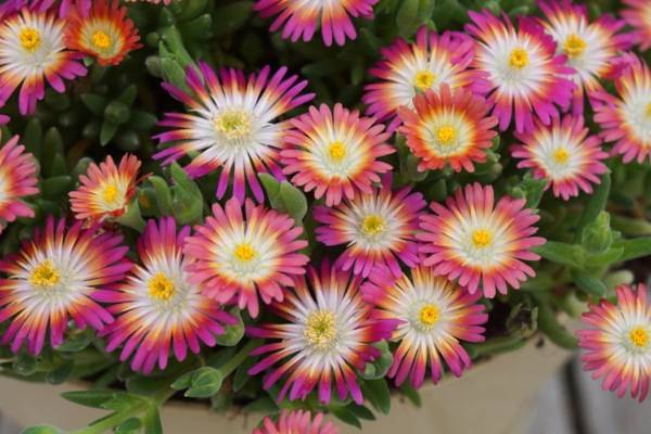 Delosperma 'Jew. of De. Ruby'