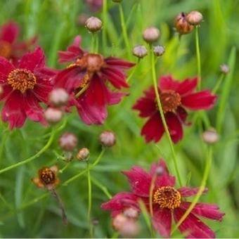 Coreopsis vert. 'Ruby Red'