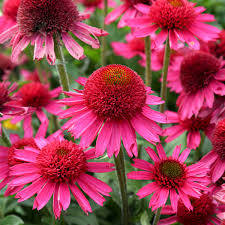 Echinacea p. 'Delicious Candy'