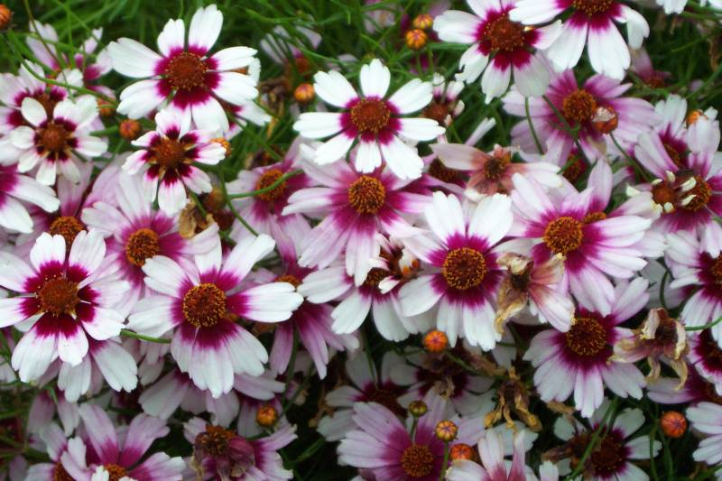 Coreopsis rosea 'Sweet Dreams'