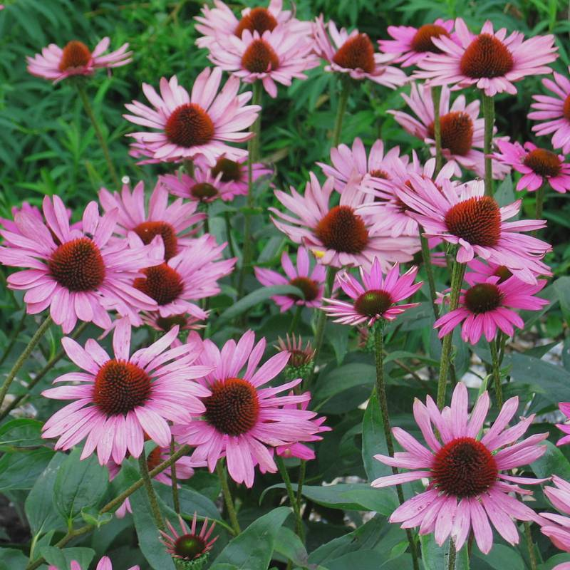 Echinacea p. 'The King'