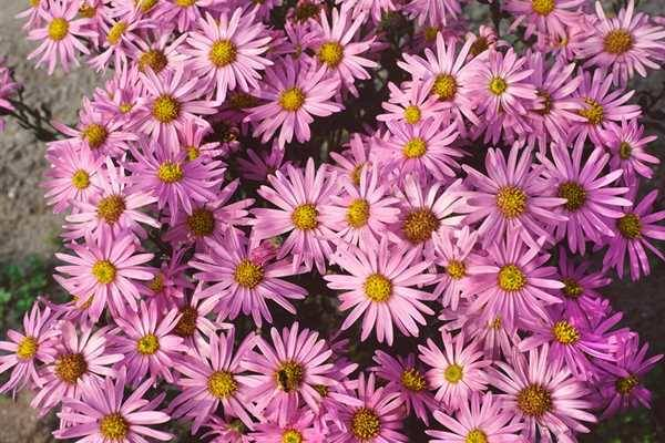 Aster amellus 'Feuer'