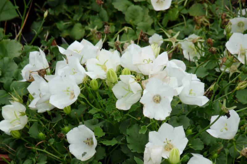 Campanula carp. 'Weisse Clips'