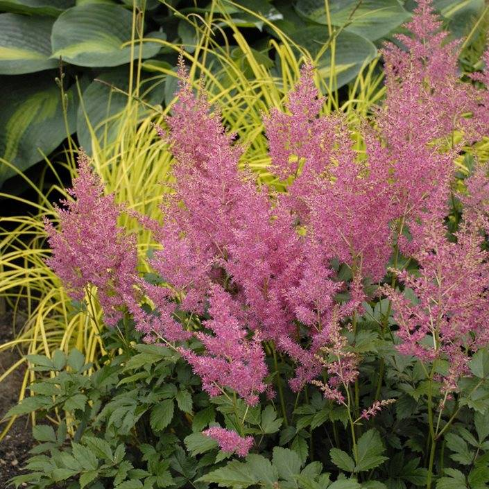 Astilbe 'Younique Pink'