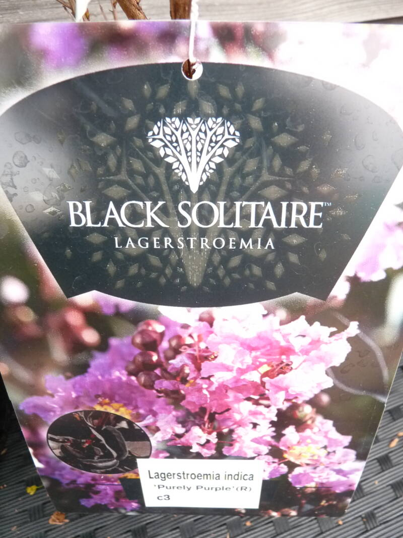Lagerstroemia indica Purely Blush Black Solitaire