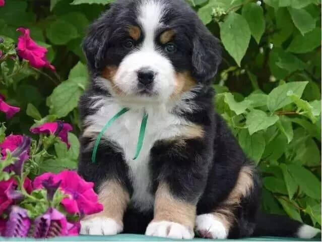 Berner senner puppy - Diamond Painting