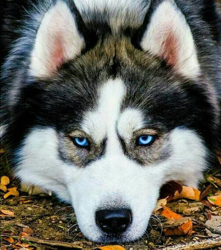 Husky - Diamond Painting Rond