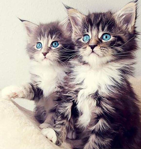 2 kittens , blauwe ogen - Diamond Painting