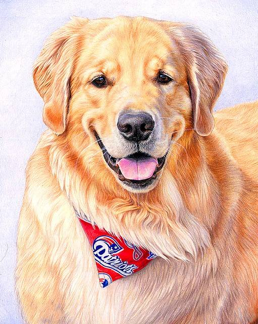 golden retriever met zakdoek - Diamond Painting