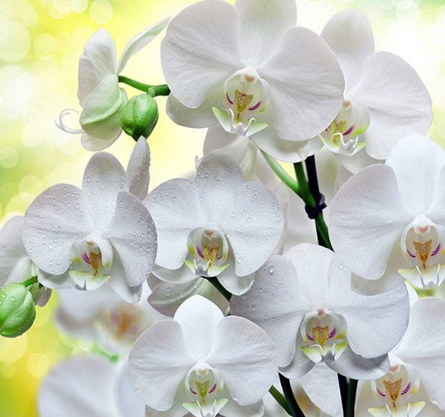 Witte orchiedee's - Diamond Painting