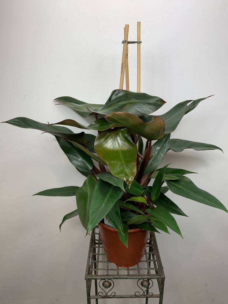 "Philodendron ""Red Emerald"""
