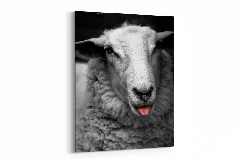 Portrait of a sheep looking at camera