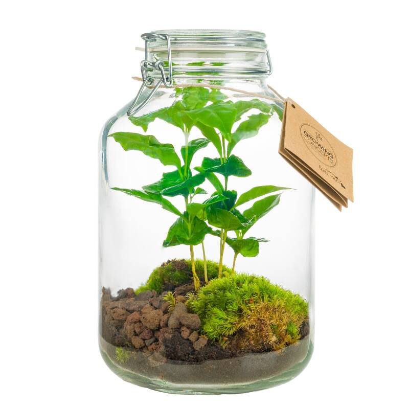 Coffea Arabica jar & Biophytum Sensitivum jar