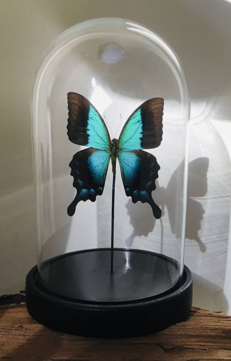 Stolp vlinder Papilio pericles
