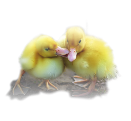 Ducks_kiss_CibiBijoux.png