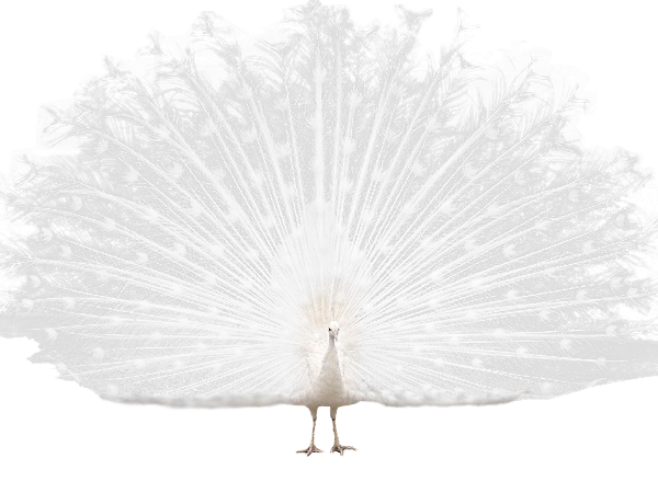 WhitePeacock.png
