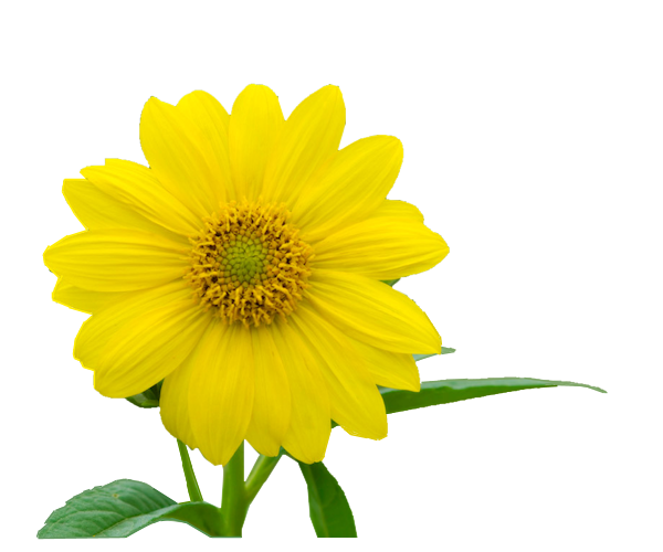 Yellow-Flower-1-Azalee.png