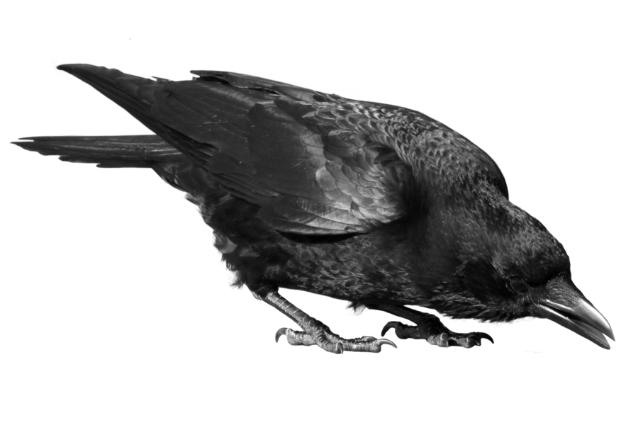 crow_24_by_peroni68-d4zqaz3.png