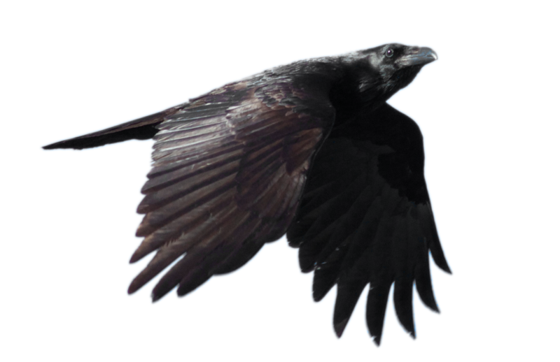 stock_common_raven_flying__with_alpha_layer__by_netzephyr-d5u242d.png