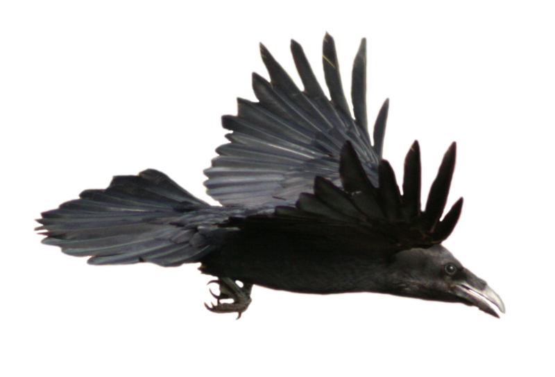stock_raven_flying__with_alpha_layer__by_netzephyr-d3435u1.png
