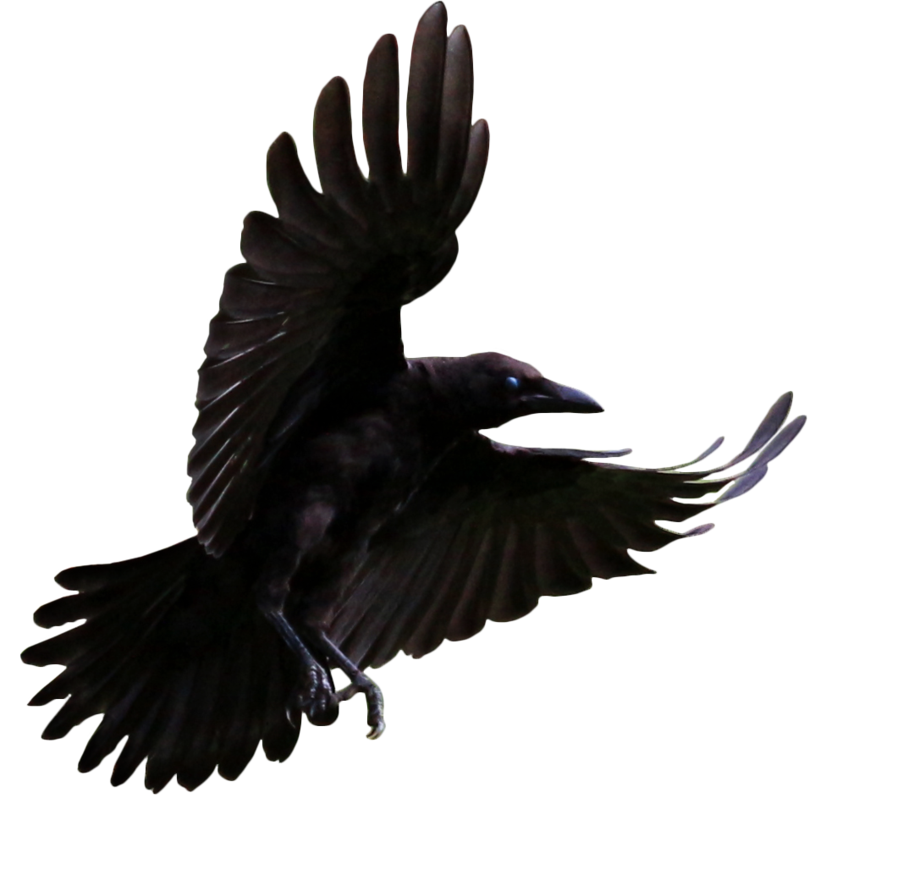 cut_out_stock_png_80___flying_young_crow_by_momotte2stocks-d7kflag.png
