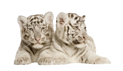white20tiger20cubs.png