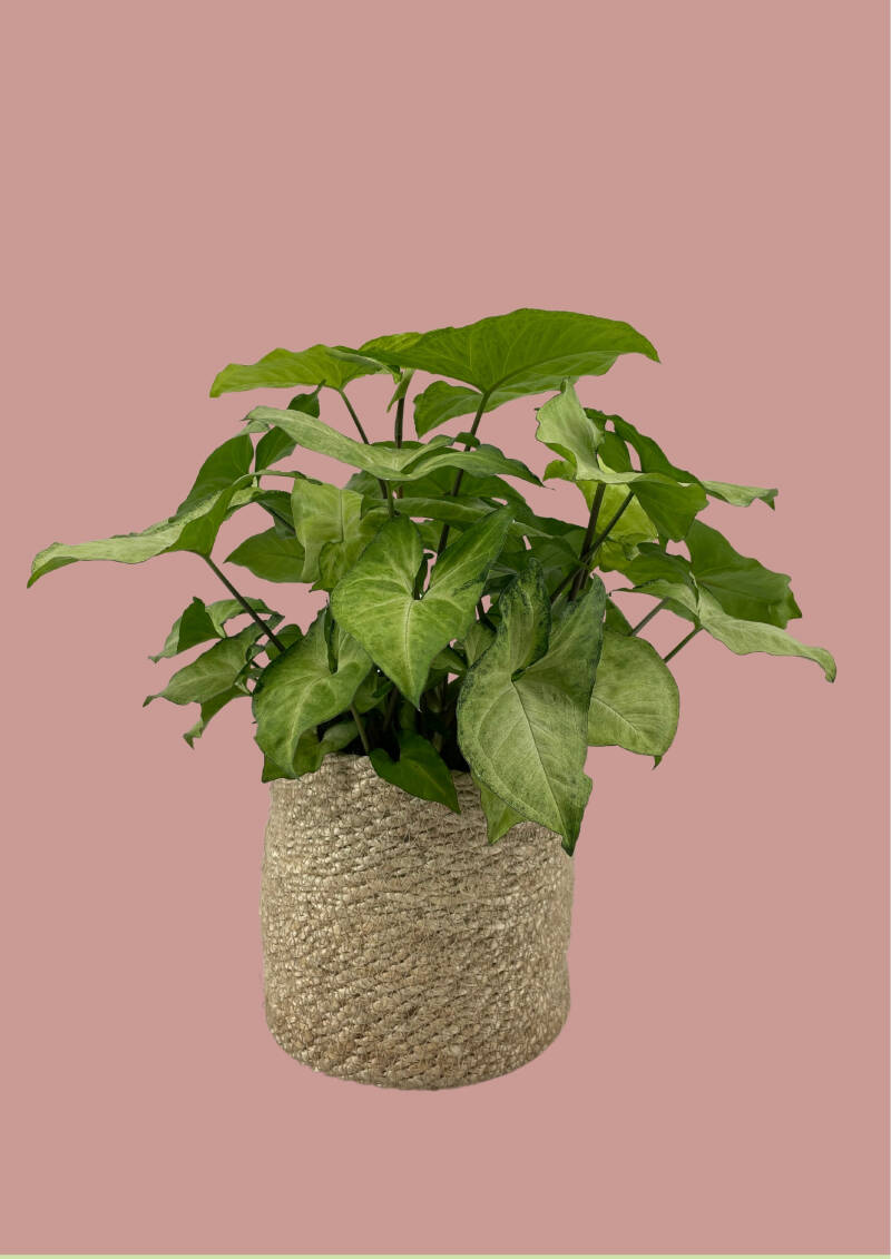 Syngonium White Butterfly - 50cm
