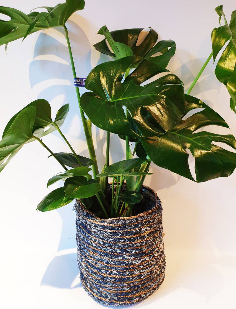 Kamerplant 'Philodendron'