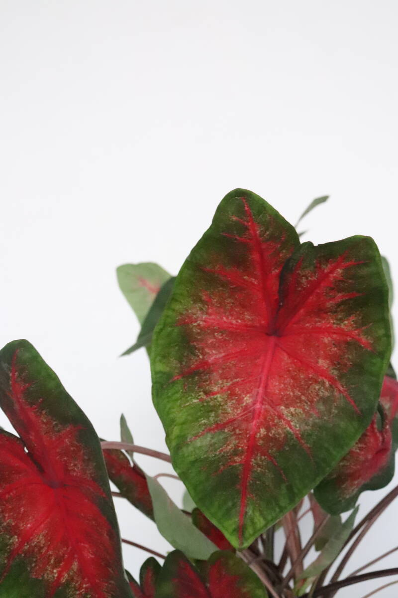 Caladium 'Red bellied tree Frog'
