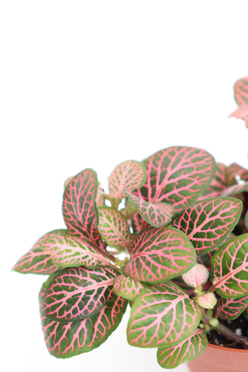 Fittonia albivenis 'Pink angel'