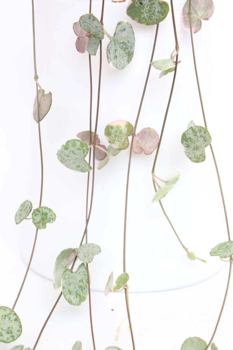 Ceropegia Marlies variegata