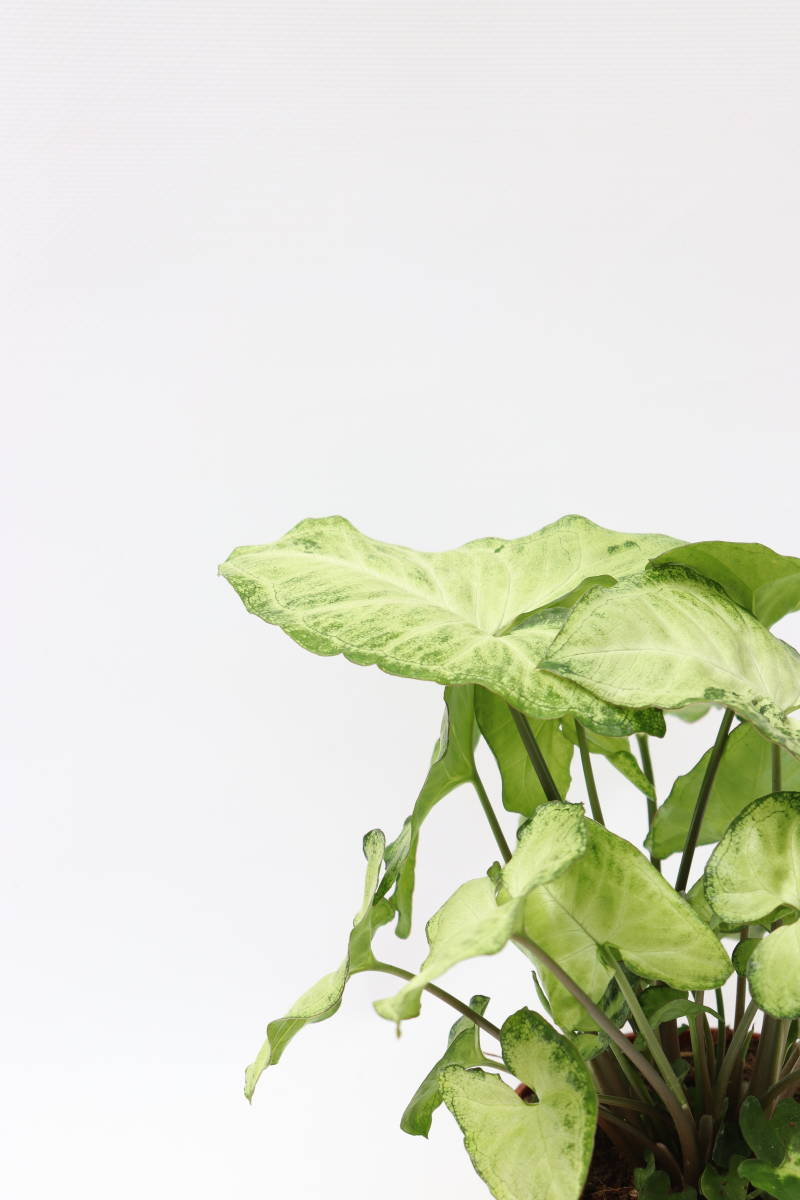 Syngonium 'White Butterfly'