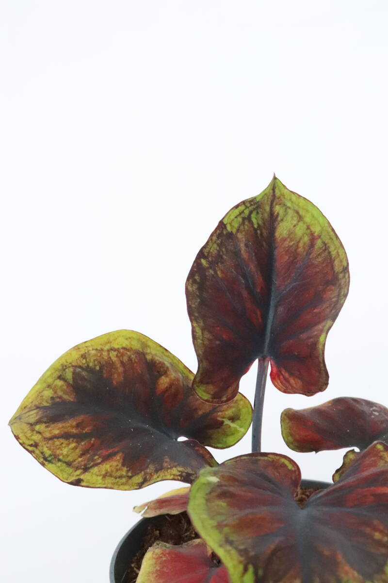 Caladium bicolor 'Chocolate Dream'