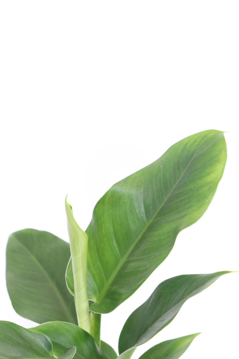 Philodendron millions