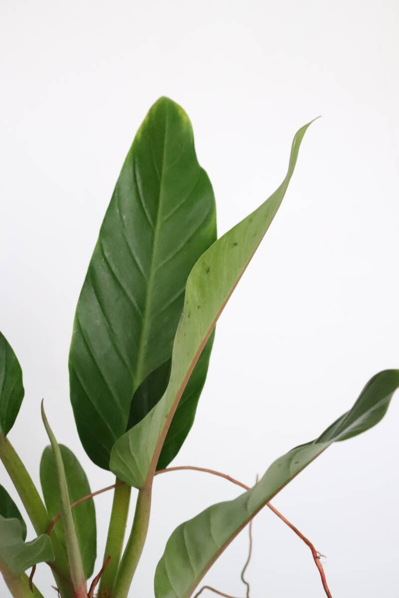 Philodendron Fatboy 'Yellow'