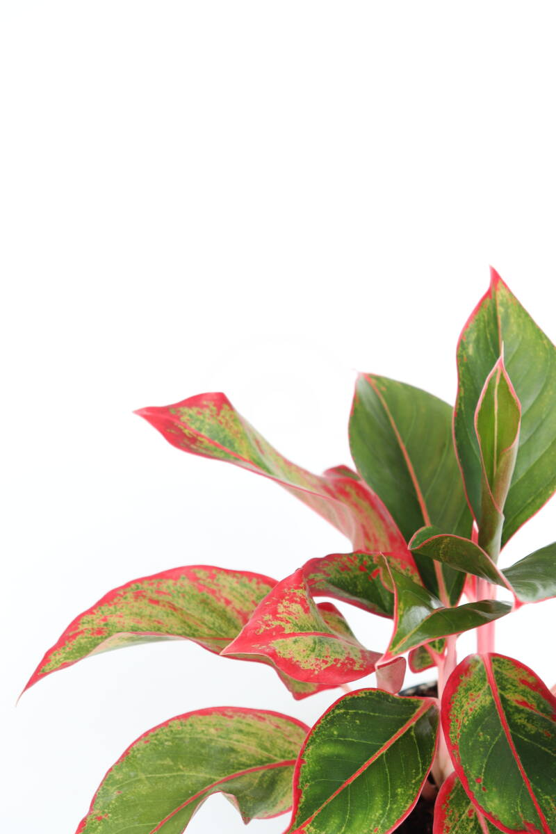 Aglaonema 'Red Dragon'