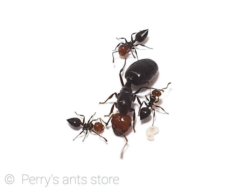 Available soon: Crematogaster scutellaris 35 to 55 workers